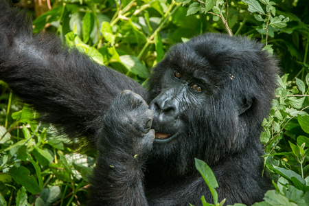 Mountain gorilla eating in the Virunga National Park, Democratic Republic Of Congo.
