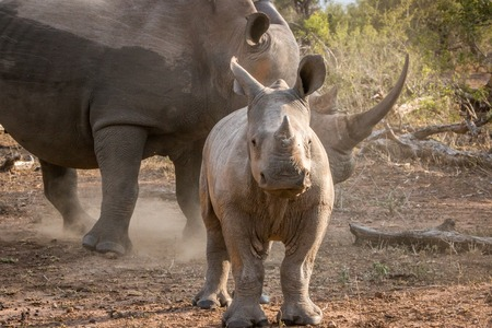 poaching: Baby White rhino with his mother in the Kruger National Park, South Africa. Stock Photo