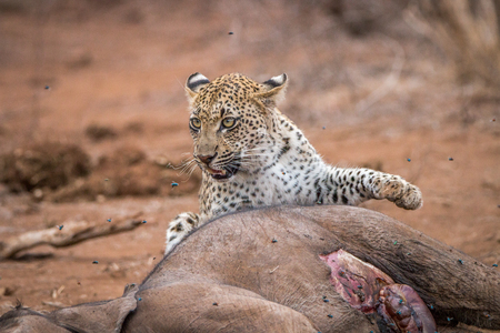 karkas: A Leopard at a baby Elephant carcass in the Kruger National Park, South Africa. Stockfoto