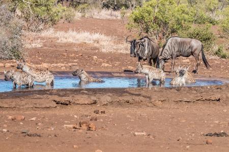 hienas: Clan de hienas manchadas en un pozo de agua con un poco de Ñu azul en el Parque Nacional Kruger, Sudáfrica.