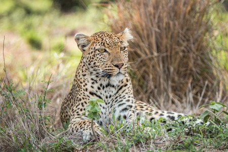 starring: A Leopard laying in the grass and starring in the Kruger National Park, South Africa. Stock Photo