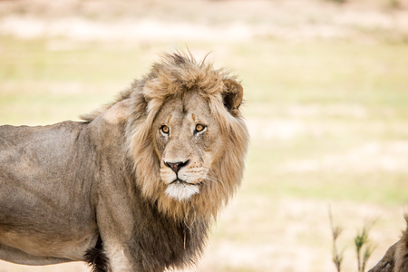 starring: Starring huge male Lion in the Kruger National Park, South Africa.