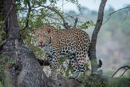 A Leopard in a tree in the Kruger National Park, South Africa.
