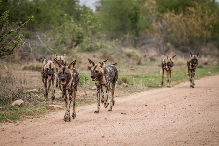 Pack of African wild dogs walking towards the camera in the Kruger National Park, South Africa. Stock Photo