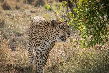 A Leopard looking up in a tree in the Kruger National Park, South Africa.