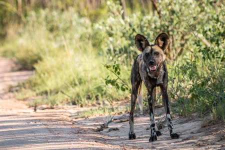 african wild dog: African wild dog starring at the camera in the Kruger National Park, South Africa.