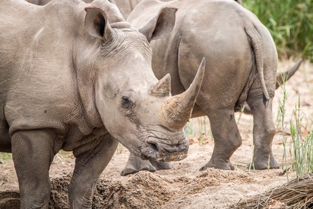 Close up of a White rhino in the sand in the Kruger National Park, South Africa. Stock Photo