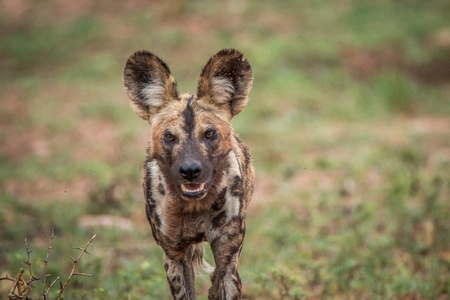 african wild dog: African wild dog walking towards the camera. Stock Photo