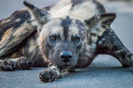 African wild dog laying in the road in the Kruger National Park, South Africa.
