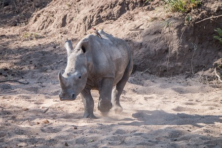 poaching: Starring white rhino in the Kruger National Park, South Africa. Stock Photo