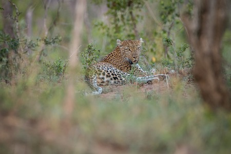 Leopard laying in the grass in the Kruger National Park, South Africa.