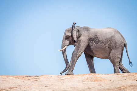 Elephant walking on a koppie in the Kruger National Park, South Africa.