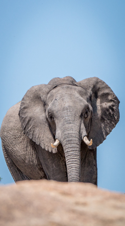 Close up of an Elephant in the Kruger National Park, South Africa. Stock Photo