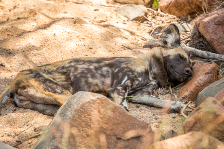 african wild dog: Resting African wild dog in the Kruger National Park, South Africa. Stock Photo