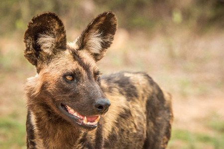african wild dog: Close up of an African wild dog in the Kruger National Park, South Africa. Stock Photo