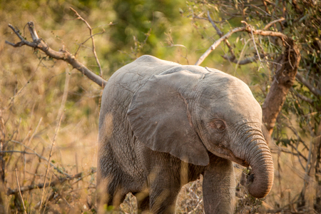 Albino Elephant in the Kruger National Park, South Africa.