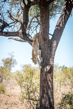 Leopard getting down from a tree in the Kruger National Park, South Africa. Stock Photo