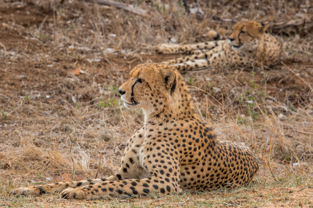 cheetahs: Two Cheetahs looking in the bush in the Kruger National Park, South Africa. Stock Photo