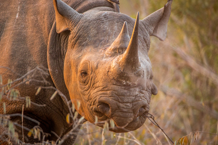 herbivores: Black rhino looking at the camera in the Kruger National Park, South Africa.