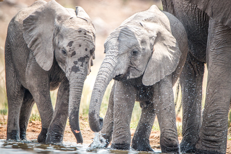 Elephants playing with the water in the Kruger National Park, South Africa.