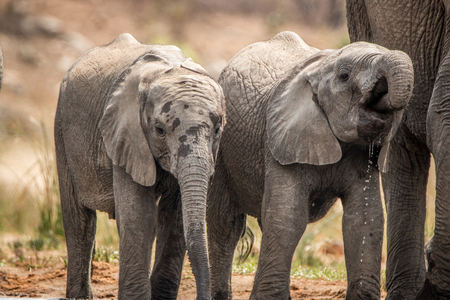 reserve: Elephants drinking in the Kruger National Park, South Africa.
