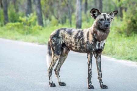 Met in de hoofdrol Afrikaanse wilde hond in het Kruger National Park, Zuid-Afrika. Stockfoto
