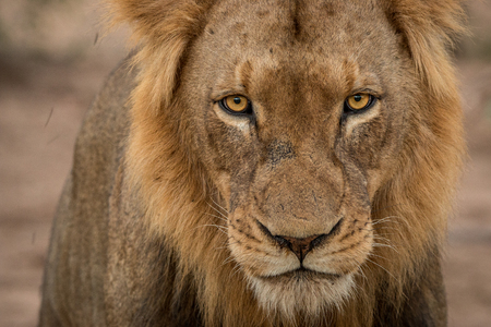 starring: Lion starring at the camera in the Kruger National Park, South Africa Stock Photo