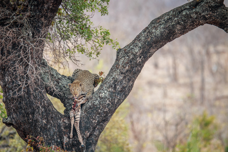 Leopard in a tree with a Zebra kill in the Kruger National Park, South Africa. Stock Photo