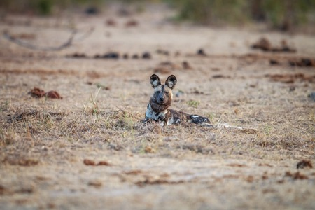 wild dog: African wild dog laying in the grass in the Kruger National Park, South Africa.