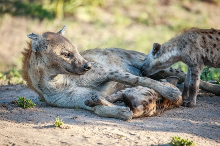Mother Spotted hyena with two pups in the Kruger National Park, South Africa.