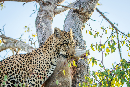 Leopard with a Duiker kill in the Kruger National Park, South Africa. Stock Photo