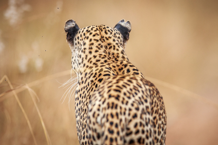 Starring Leopard from behind in the Kruger National Park, South Africa.