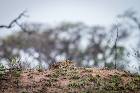 Leopard laying on a termite mount in the Kruger National Park, South Africa. Stock Photo
