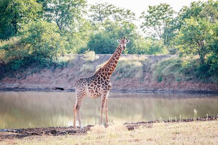 necking: Giraffe at a waterhole in the Kruger National Park, South Africa.