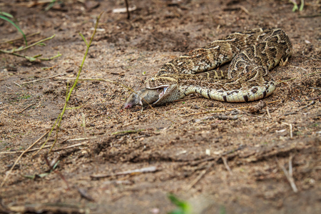 cytotoxic: Puff adder feeding on a mouse in the Kruger National Park, South Africa.