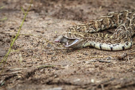Puff adder feeding on a mouse in the Kruger National Park, South Africa.