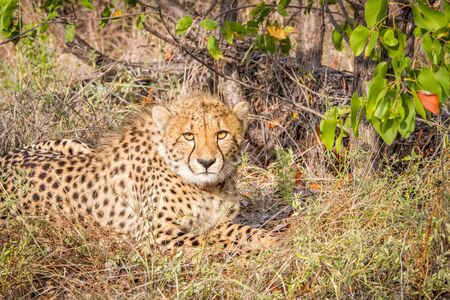 Cheetah starring at the camera in the Kruger National Park, South Africa. Stock Photo
