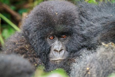 herbivores: Close up of a baby Mountain gorilla in the Virunga National Park, Democratic Republic Of Congo.