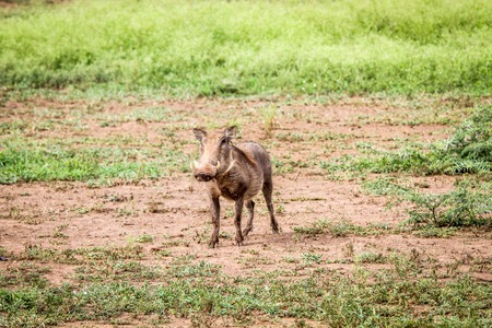 bush hog: Warthog starring at the camera in the Kruger National Park, South Africa. Stock Photo