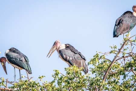 scavenger: Marabou stork sitting in a tree in the Kruger National Park, South Africa.
