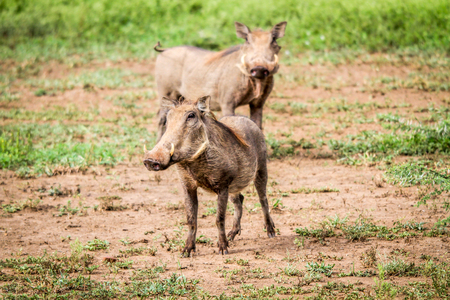 Warthog starring at the camera in the Kruger National Park, South Africa. Stock Photo