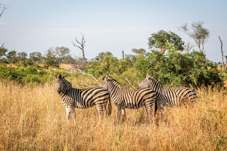 Three Zebras standing in the grass in the Kruger National Park, South Africa.