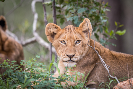 starring: Starring Lion cub in the Kruger National Park, South Africa. Stock Photo