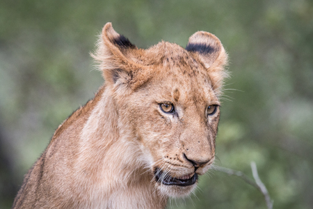 Lion cub looking down in the Kruger National Park, South Africa.