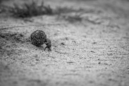 Dung beetle rolling a ball of dung in black and white in the Kruger National Park, South Africa.