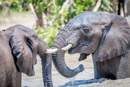 pachyderm: Two African Elephants playing in water in the Kruger National Park, South Africa. Stock Photo