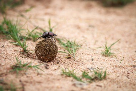 Dung beetle rolling a ball of dung in the Kruger National Park, South Africa.