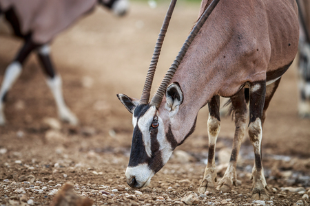sossusvlei: Gemsbok eating in the Kgalagadi Transfrontier Park, South Africa. Stock Photo