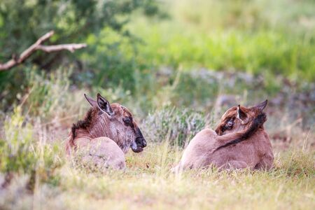 Two baby Blue wildebeest laying in the grass in the Kgalagadi Transfrontier Park, South Africa.