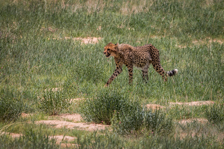 Cheetah walking in the grass in the Kgalagadi Transfrontier Park, South Africa. Stock Photo
